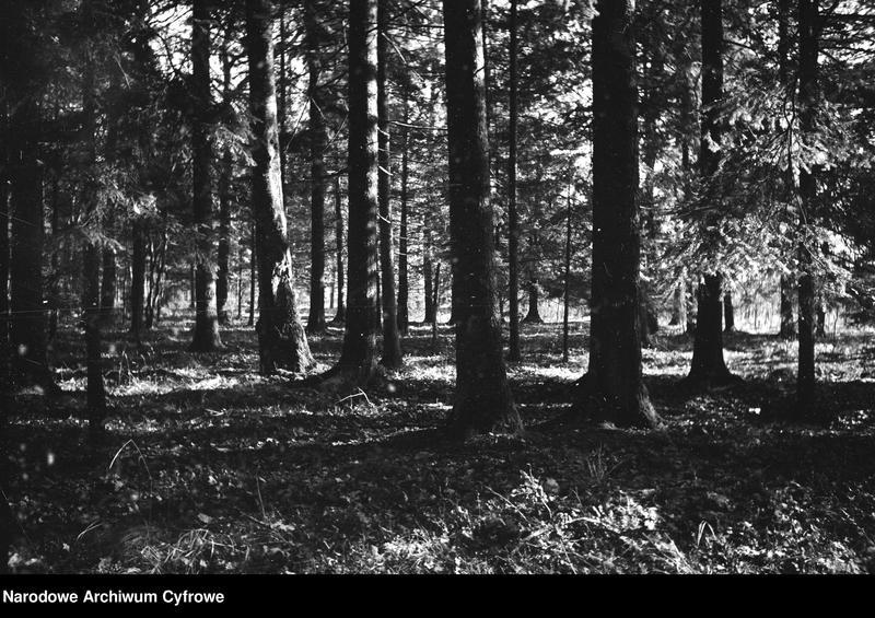 Obiekt Drzewa w puszczy. z jednostki Białowieża