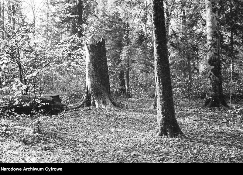 Obiekt Fragment puszczy. Stary pień drzewa. z jednostki Białowieża