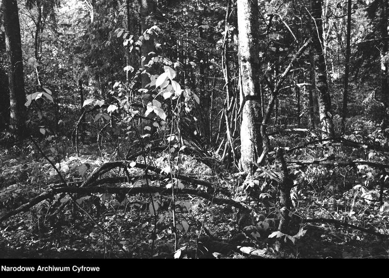 Obiekt Park narodowy. Powalone konary drzew. z jednostki Białowieża