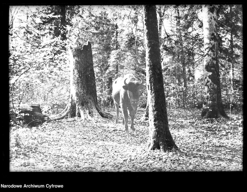 Obiekt Żubr w lesie. z jednostki Białowieża