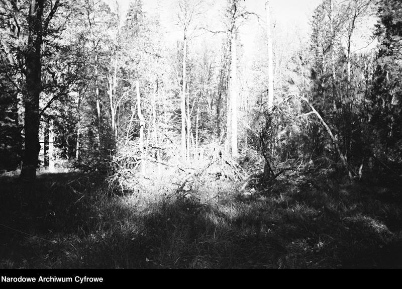 Obiekt Powalone fragmenty drzew w lesie z jednostki Białowieża