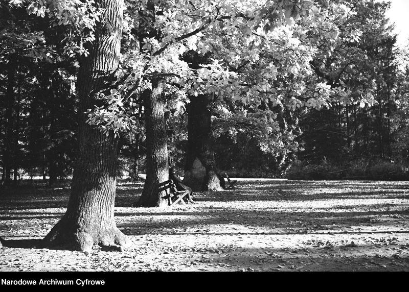 Obiekt Dęby w parku. Człowiek siedzący na ławeczce pod drzewem. z jednostki Białowieża