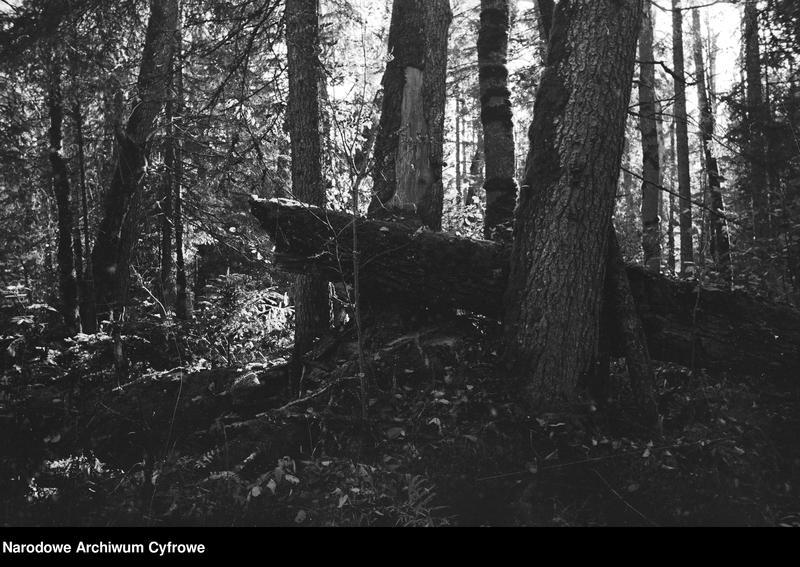 Obiekt Puszcza. Powalony pień drzewa. z jednostki Białowieża