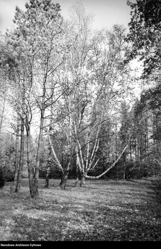 Obiekt Fragment lasu. Brzozy. z jednostki Białowieża