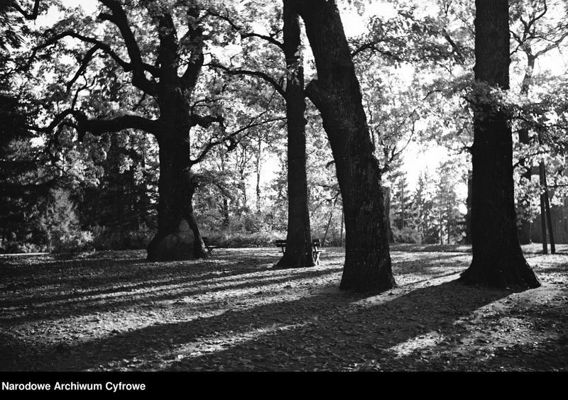 Obiekt Dęby w parku. Widoczne ławki pod drzewami. z jednostki Białowieża