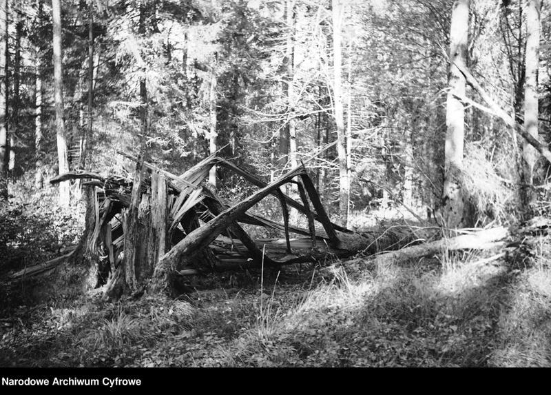 Obiekt Puszcza. Stary pień drzewa. z jednostki Białowieża