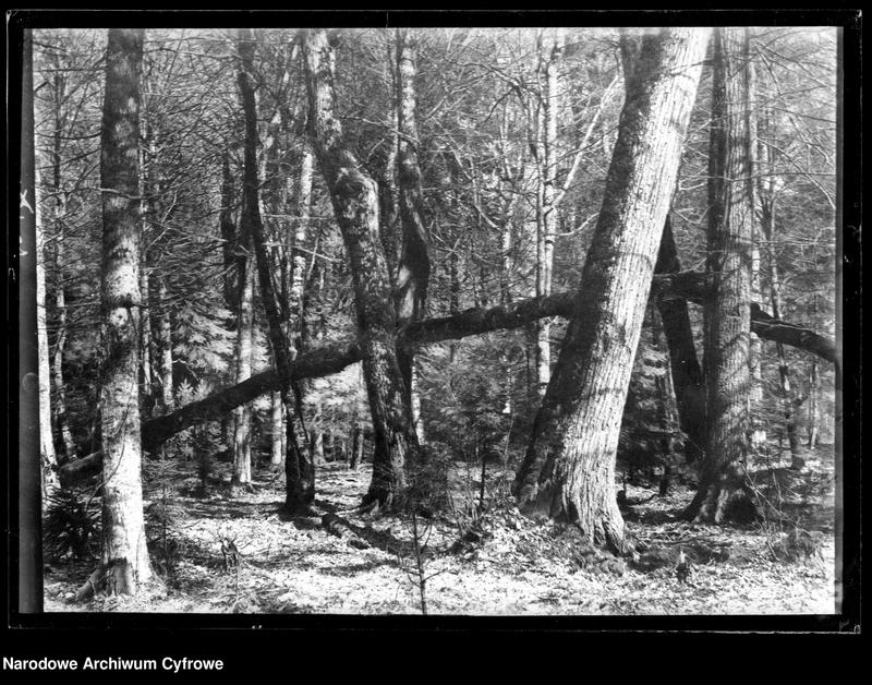 Obiekt Knieja. Powalone drzewo. z jednostki Białowieża