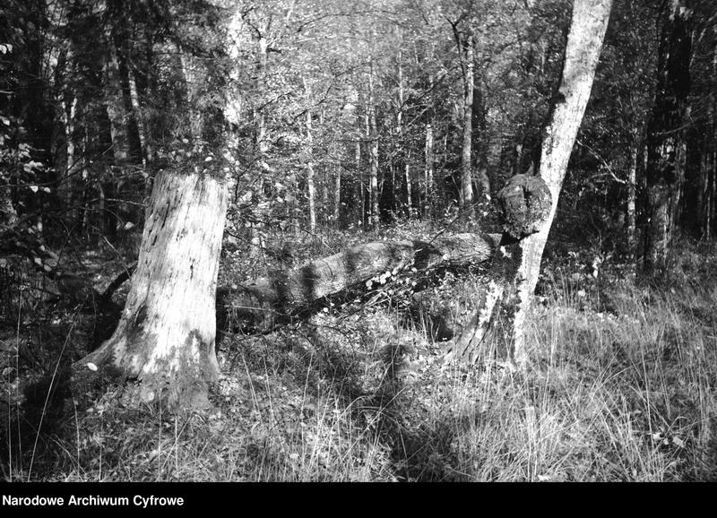 Obiekt Stare drzewa w puszczy. z jednostki Białowieża