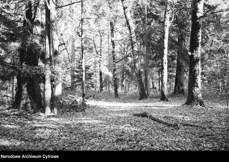 Obiekt Puszcza. Stare drzewa. z jednostki Białowieża