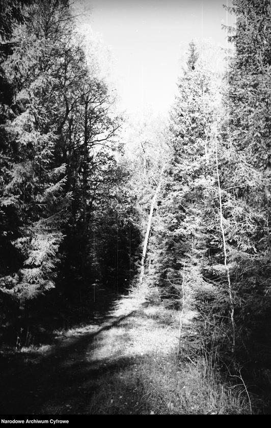 Obiekt Puszcza. Drzewa iglaste. z jednostki Białowieża