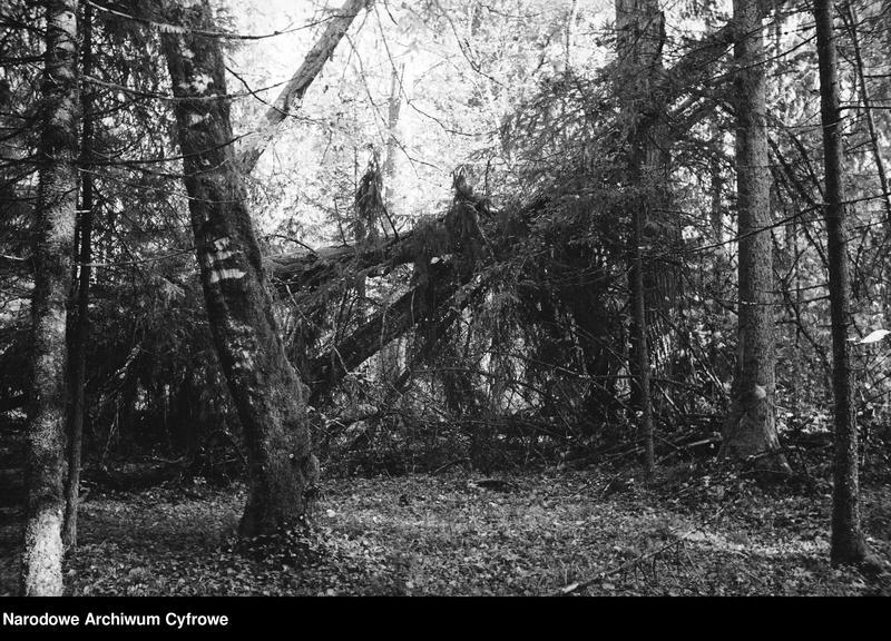 Obiekt Puszcza. Spróchniałe, powalone drzewa. z jednostki Białowieża