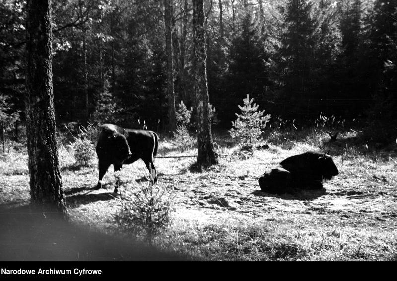 Obiekt Żubry w lesie. z jednostki Białowieża