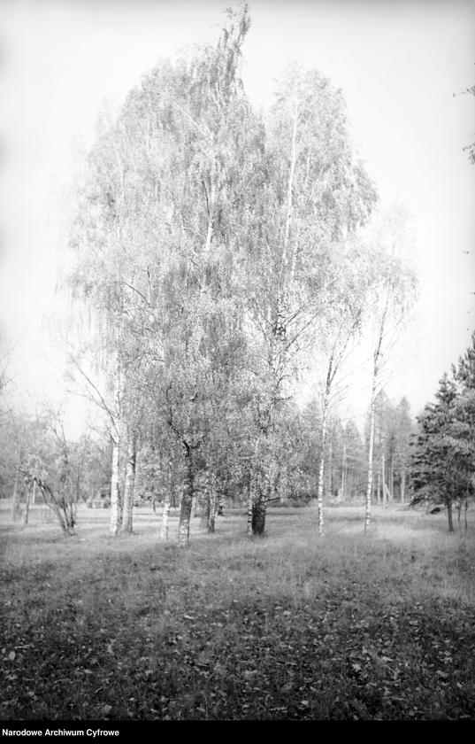 Obiekt Brzozy na skraju lasu. z jednostki Białowieża