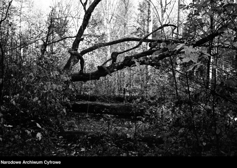 Obiekt Fragmenty powalonych drzew w puszczy. z jednostki Białowieża
