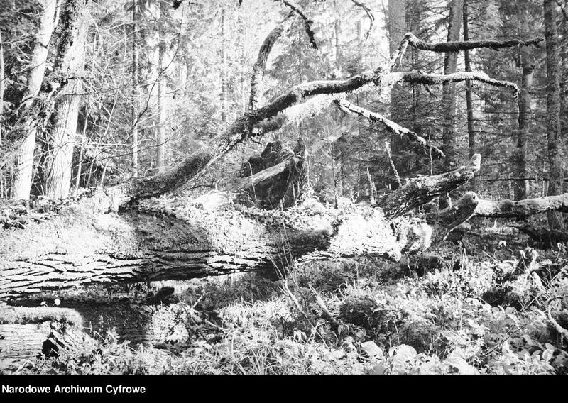Obiekt Fragment puszczy. Powalone, spróchniałe drzewo. z jednostki Białowieża