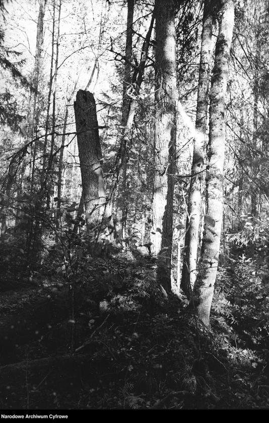 Obiekt Puszcza. Fragment pnia drzewa. z jednostki Białowieża