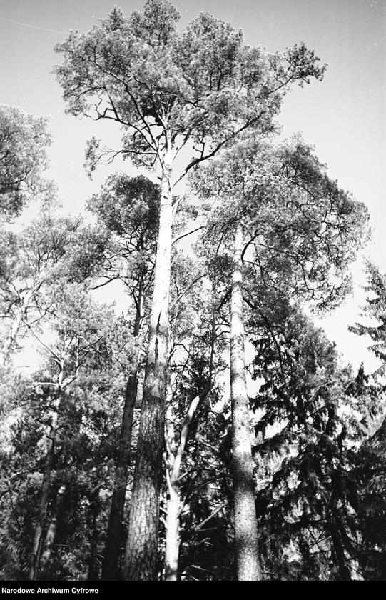 Obiekt Korony drzew iglastych. z jednostki Białowieża